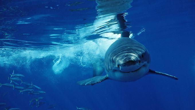 Möglicherweise war es einer der gefürchteten Weißen Haie, der Costner und seine Frau attackierte.