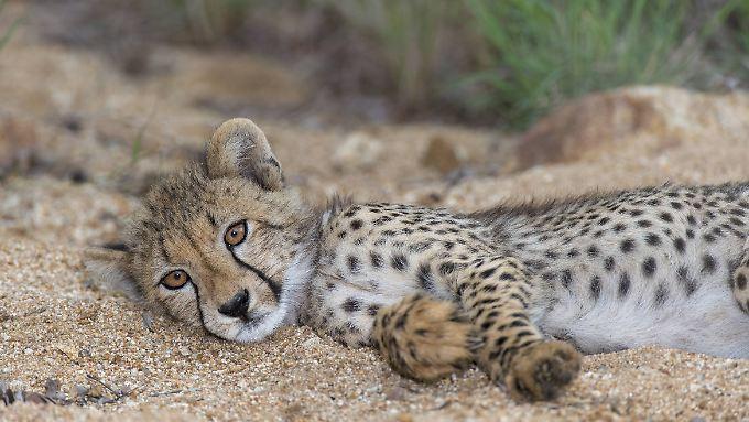 Die Tiere werden im Krüger-Nationalpark geschützt. Die Touristen strömen nach Südafrika, um sie zu sehen.