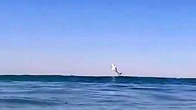 Kaum zu glauben, aber wahr: Weißer Hai springt Surfer vor die Action-Cam-Linse