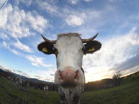 Methan entsteht vor allem bei der Rinderhaltung und im Reisanbau.