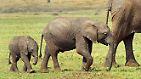 Die Elefanten-Mutter kümmert sich quasi ein Leben lang um ihre Töchter.