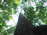 Minecraft-Spieler kennen ihn: Gigantischer Tropenbaum entdeckt