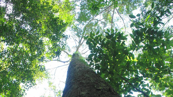 Um den Baum zu vermessen, stieg ein professioneller Kletterer mit einem Maßband bis in die Krone - und wurde von einem Adler attackiert.