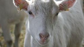 Auch Tiere können sich mit dem Virus infizieren und es mit der Milch ausscheiden.
