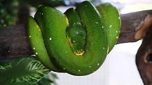 Gliedmaßenwachstum gestoppt: Wie Schlangen ihre Beine verloren
