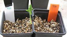 Eine andere Intelligenz: Pflanzen können Risiken abwägen