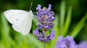 Gefährdete Schönheiten: Wo sind die Schmetterlinge geblieben?