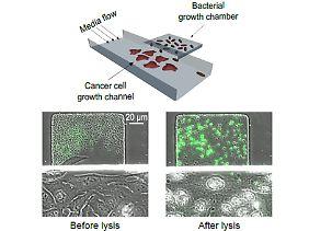 Die genetisch veränderten Salmonellen produzieren einen Anti-Krebs-Wirkstoff, lösen sich dann selbst auf und setzen das Gift im Tumor frei.