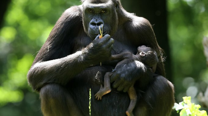Mehr als 2700 Arten sind direkt bedroht, weil sie gejagt, gefischt oder für die Tierhaltung gefangen werden, darunter auch Gorillas.