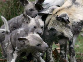 Afrikanische Wildhunde im Zoo.