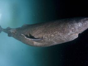 Der Grönlandhai kann bis zu mehreren tausend Meter tief tauchen.