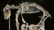 Opfer der Eiszeit: Höhlenbär starb aus, weil er Veganer war