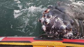 Aus Fischernetz befreit: Buckelwal dankt seinen Rettern