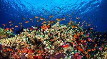 Immer weniger Nahrung: Ozeanversauerung zerstört Korallenriffe