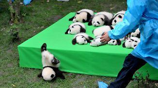 Aufzuchtstation freut sich über 23 Babies: Mini-Riesenpandas verzücken China