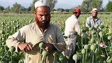 Starke Opiumernte in Afghanistan: Taliban werden zu reichen Drogen-Fürsten