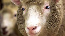 Mit Dolly fing alles an: Klone bevölkern die Welt