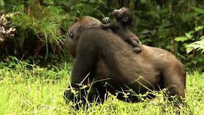 Flachlandgorillas vom Aussterben bedroht: Affen-Zwillinge verzücken Besucher des Dzanga-Sangha-Parks