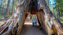 Wahrzeichen in Kalifornien: Unwetter entwurzelt tausendjährigen Baum