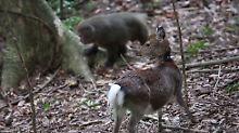 Ungewöhnliche Beobachtung: Affe hat Sex mit Hirschkuh