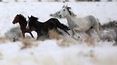 Bis vor kurzem lebten die Mustangs wild.
