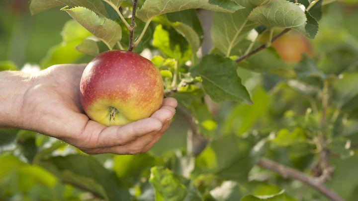 Ein echter Gesundmacher ist der Apfel - vor allem mit Schale.