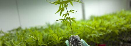 Versorgung schwer kranker Menschen: Cannabis-Medizin wird zur Kassenleistung