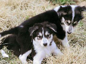 Die beiden Klon-Hunde wurden 2008 in Südkorea aus den Zellen der bereits 2002 verstorbenen Hündin Missi geschaffen.