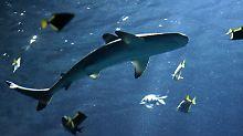 Kaum zu glauben, aber wahr: Im Mazatlan-Aquarium platzt Scheibe eines riesigen Haifisch-Beckens