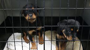 Hunde sind oft krank und traumatisiert: Tierschützer warnen vor Schmuggel-Welpen