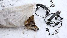 Im Winter haben die Wölfe, die in der Sperrzone rund um das havarierte Atomkraftwerk Tschernobyl leben, den dicksten Pelz.