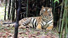 Schätzungsweise 2200 Tiger leben in Indiens Wildnis.