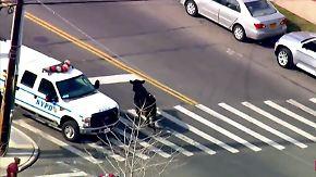 Kaum zu glauben, aber wahr: Polizei jagt entlaufenen Bullen durch New York
