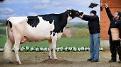 """""""Schau der Besten"""" in Verden: Das ist die schönste Kuh Deutschlands"""