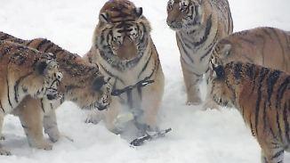 Kaum zu glauben, aber wahr: Tiger holen Drohne vom Himmel