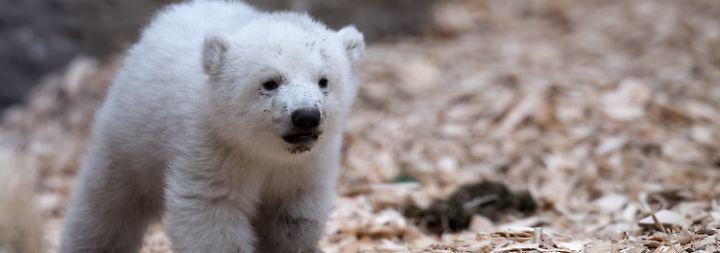 Die Eisbärenzwillinge Nela und Nobby sind jedoch schon weitergezogen und lernen die kleine Schwester nicht kennen.
