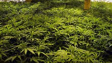 Hoffnung für Schwerkranke: Staatlicher Cannabis-Anbau startet