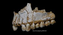 Erkenntnisse aus Zahnbelag: Neandertaler aßen natürliche Schmerzmittel