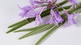 Blätter und Blüten des Knoblauchgrases schmecken und sehen sehr hübsch aus.