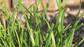 Schnittknoblauch hat keine röhrenförmigen Halme, sondern flache Blätter.