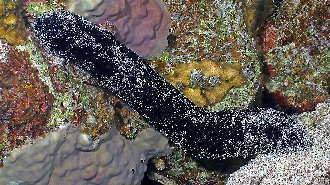 Eine Schwarze Seegurke in einem Korallenriff im Roten Meer.