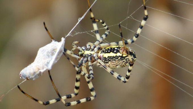 Radnetzspinne (Argiope trifasciata) mit einer gefesselten Beute im Netz.