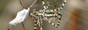Gefräßige Raubtiere: Spinnen fressen Millionen Tonnen Insekten