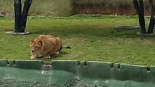 Glück im Unglück für Mensch und Tier: Löwin greift Touristengruppe an