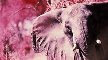 Verpatztes Genexperiment: Rosa Mini-Elefant mischt Zürich auf