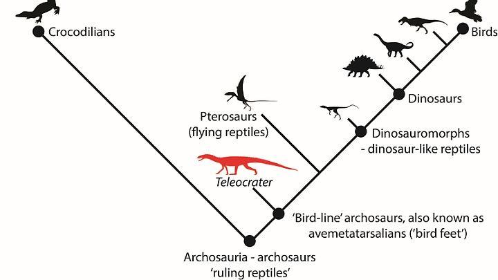 Vereinfachte Darstellung der stammesgeschichtlichen Beziehungen innerhalb der Archosaurier, einschließlich Teleocrater rhadinus.