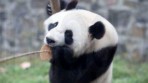 Exoten gelandet: Pandapaar zieht in holländischen Zoo