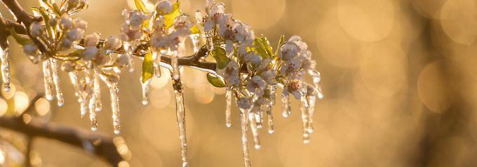 """Kirschen, Pflaumen, Aprikosen: """"Viele Steinobstblüten sind erfroren"""""""