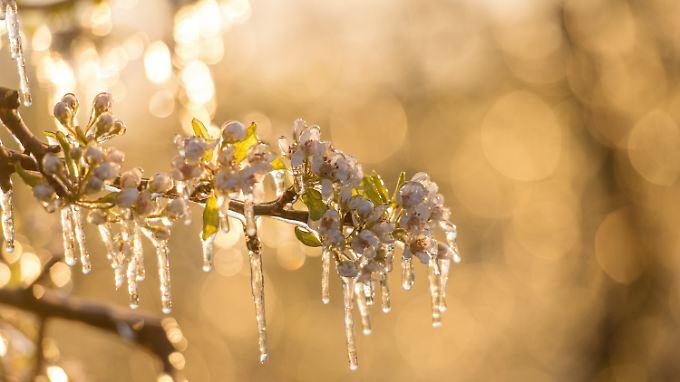Je weiter eine Blüte aufgeblüht ist, umso empfindlicher ist sie bei Frost.