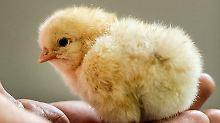 Männliche Küken werden in der Agrarindustrie häufig vergast oder geschreddert, weil sie weder Eier legen noch viel Fleisch ansetzen.